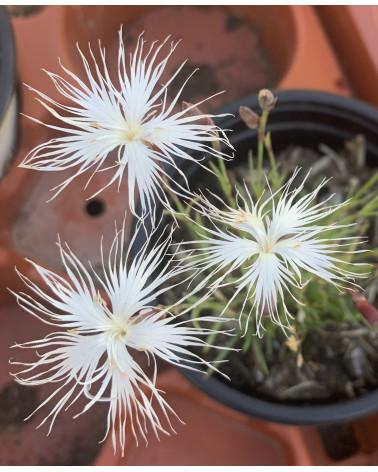 Sandnelke, Dianthus arenarius