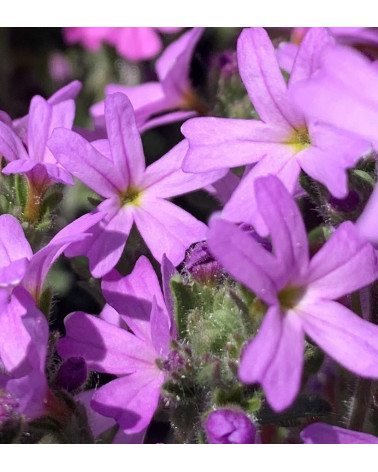 Erinus alpinus, Lederbalsam