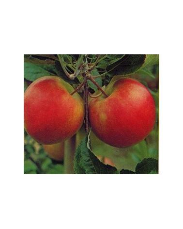 Apfel Elstar Halbstamm