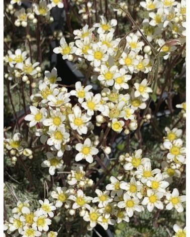 Saxifraga paniculata Baldensis, Traubensteinbrech