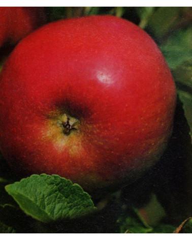 Idared Apfel Halbstamm