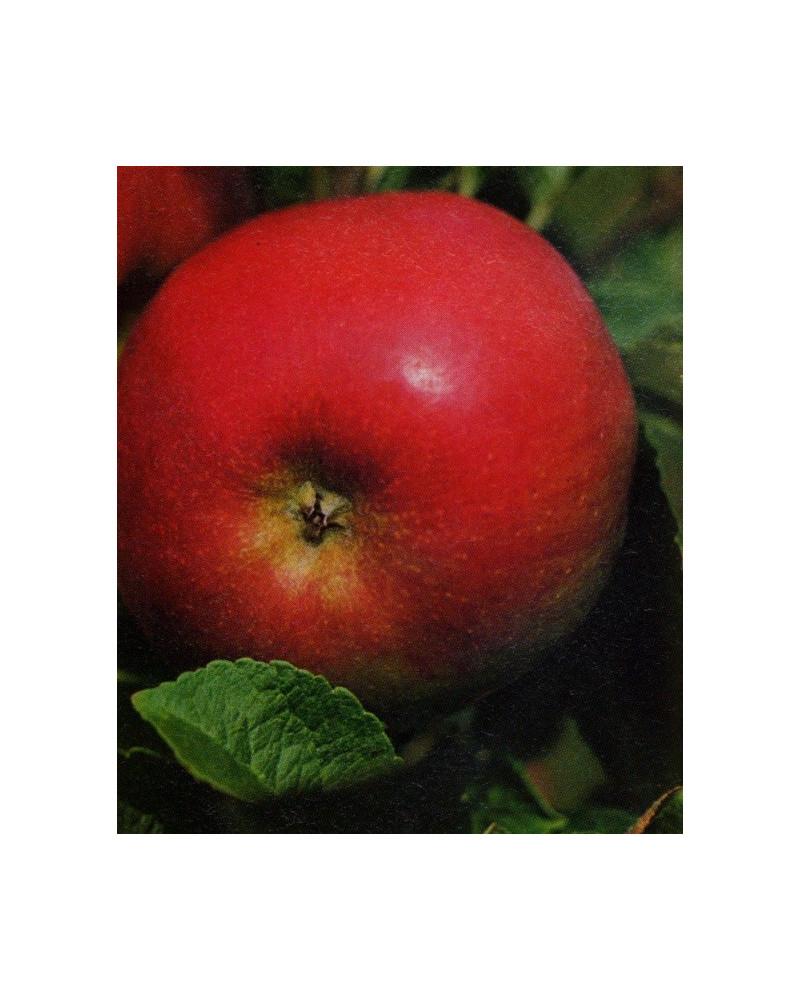 Apfel Idared Halbstamm