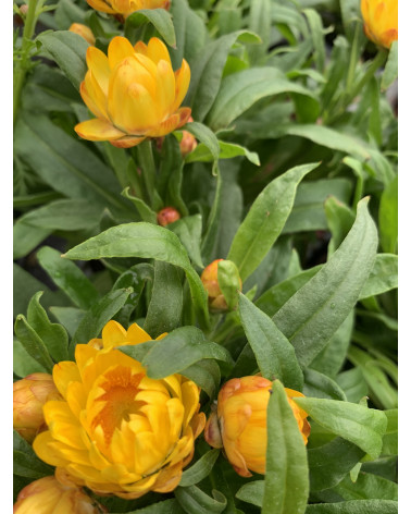 Strohblume gold