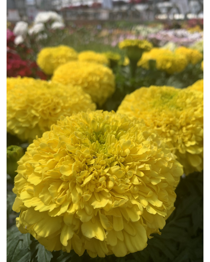 Studentenblume halbhoch, Tagetes erecta gelb