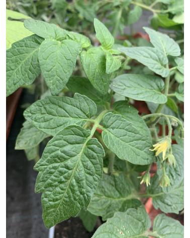 Sibirische Tomate