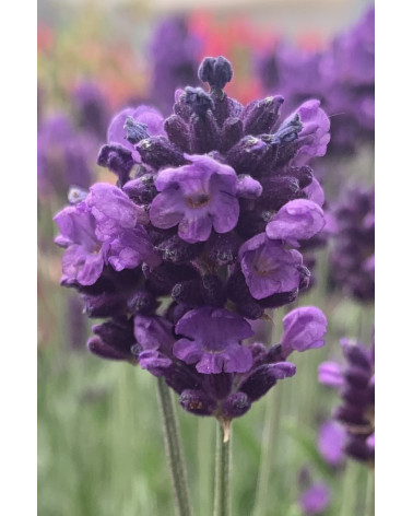 Lavendel im XXL-Topf