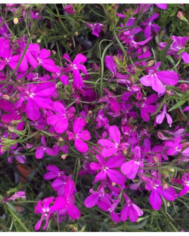 Lobelie hängend rosa, Lobelia