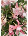 Fuchsia-Hybriden