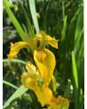 Sumpfiris, Iris pseudoacarus