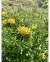 Wundklee gelb, Anthyllis vulneraria