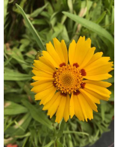 Mädchenauge, Coreopsis lanceolata Sterntaler
