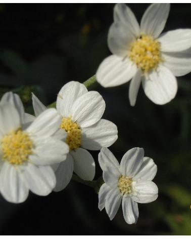Achillea grisebachii, Edelschafgarbe
