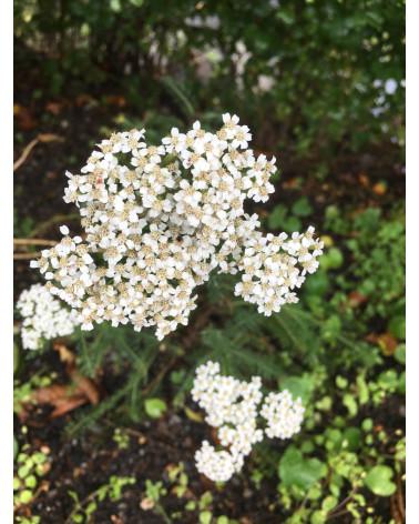 Einheimische Schafgarbe, Achillea millefolium