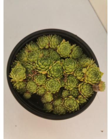 Sempervivum funckii, Hauswurz