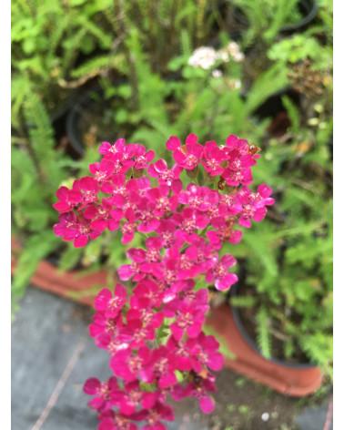 Rote Schafgarbe, Achillea millefolium Cerise Queen