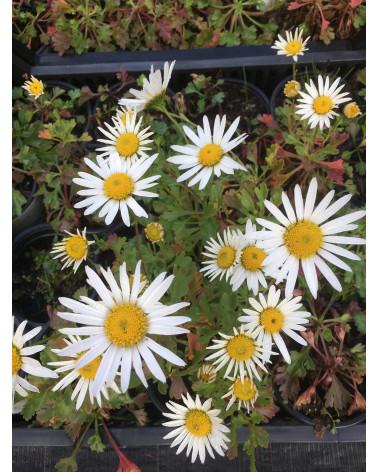 Arktische Margerite, Polar-Margerite, Chrysanthemum arcticum