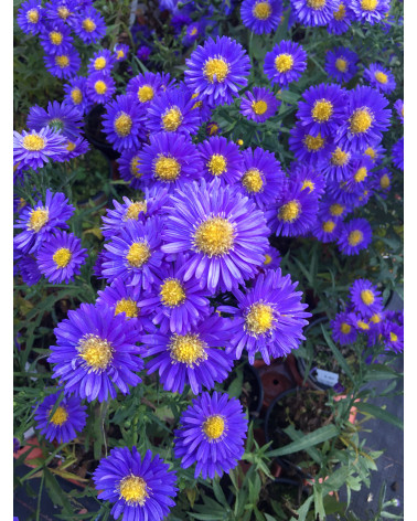 Aster dumosus Lady in Blue, Kissenaster