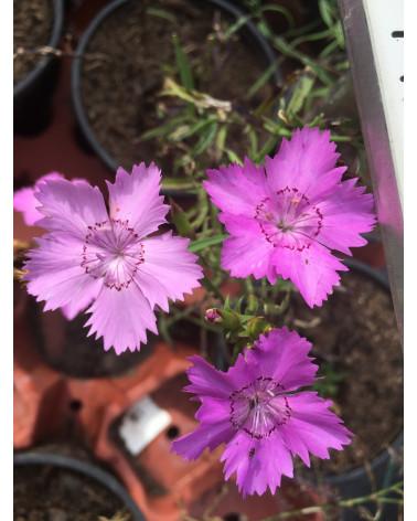 Amurnelke, Dianthus amurensis