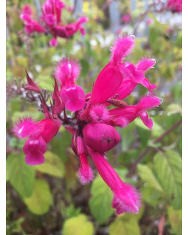 Hüllblatt-Salbei Salvia involucrata