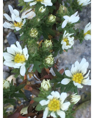 Kriechende Myrthenaster, Aster ericoides Snowflurry