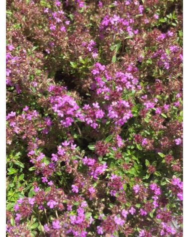 Bergthymian, Thymus montanus