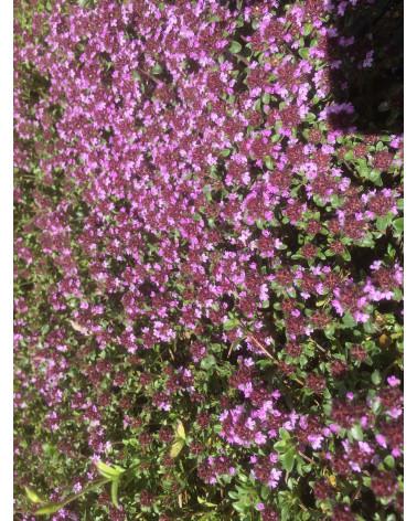 Teppichthymian, Thymus praecox Minor