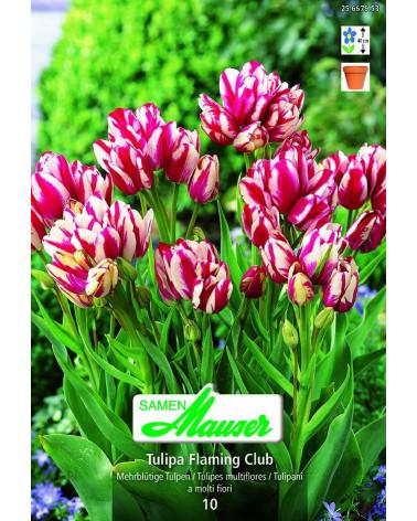 Tulipa Flaming Club