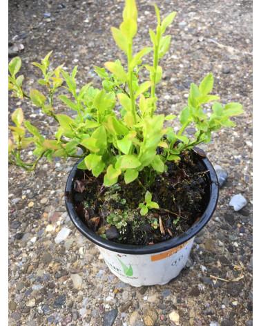 Vaccinium myrtillus - Wilde Heidelbeere