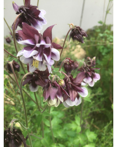 Akelei Nora Barlow - Aquilegia Pflanze