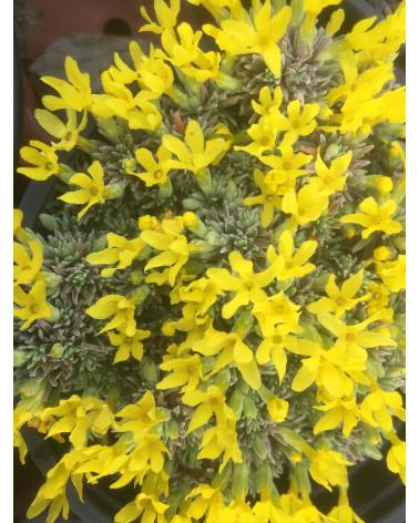 Douglasia vitaliana ssp. cinerea