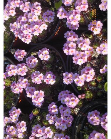 Androsace sempervivoides Typ Schutz Filisur - Mannsschild