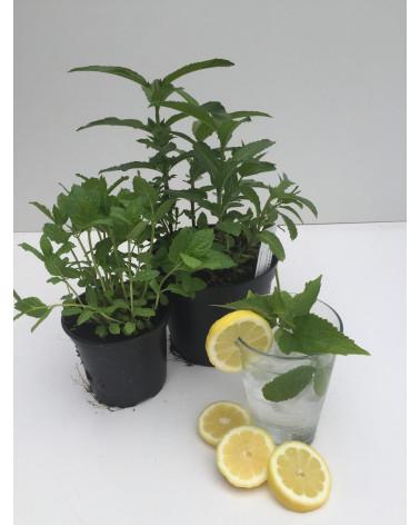 Zitronen-Melisse, Melissa officinalis Typ Filisur