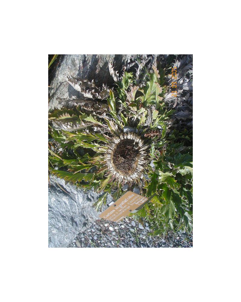 Carlina acanthifolia, Golddistel