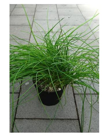 Schnittlauch, Allium schoenoprasum