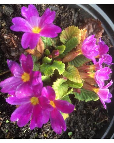 Teppichprimel, Primula juliae