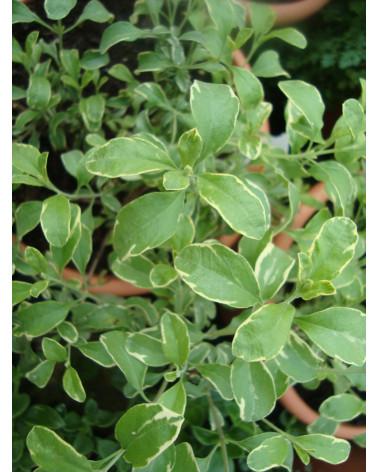 Pfirsich-Salbei buntblättrig, Salvia greggii Variegata Pflanze