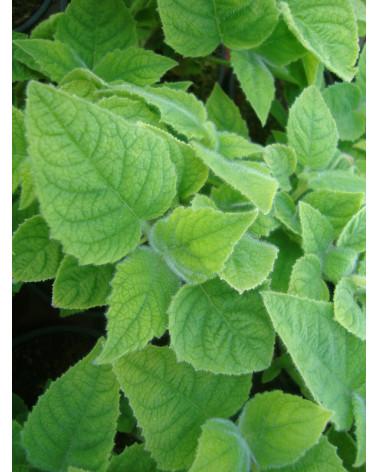 Frucht-Salbei, Salvia dorisiana