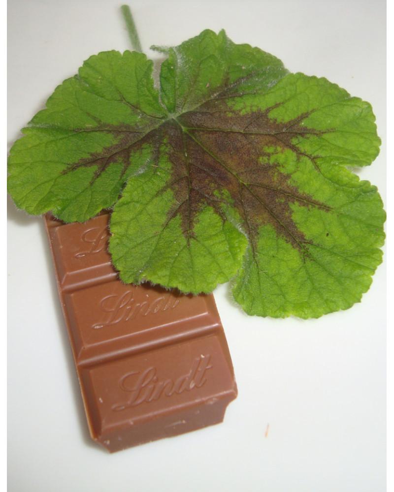Schokoladen-Geranie, Pelargonium Chocolate Peppermint