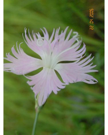 Alpennelke, Dianthus alpestris