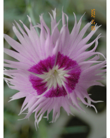 Dianthus albus zonatus rosa, Duftnelke