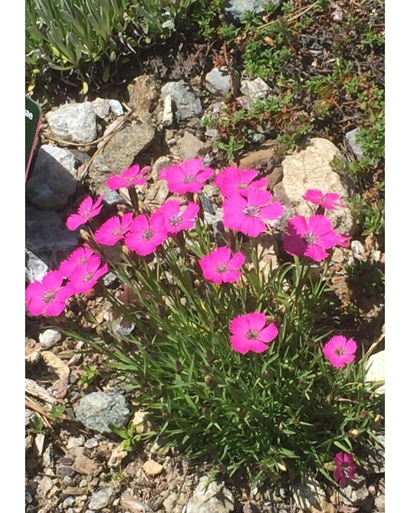 Dianthus sylvestris, Steinnelke