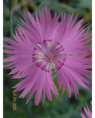 Polsternelke, Dianthus anderwoodii