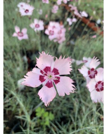 Dianthus Dainty Dame, Duftnelke