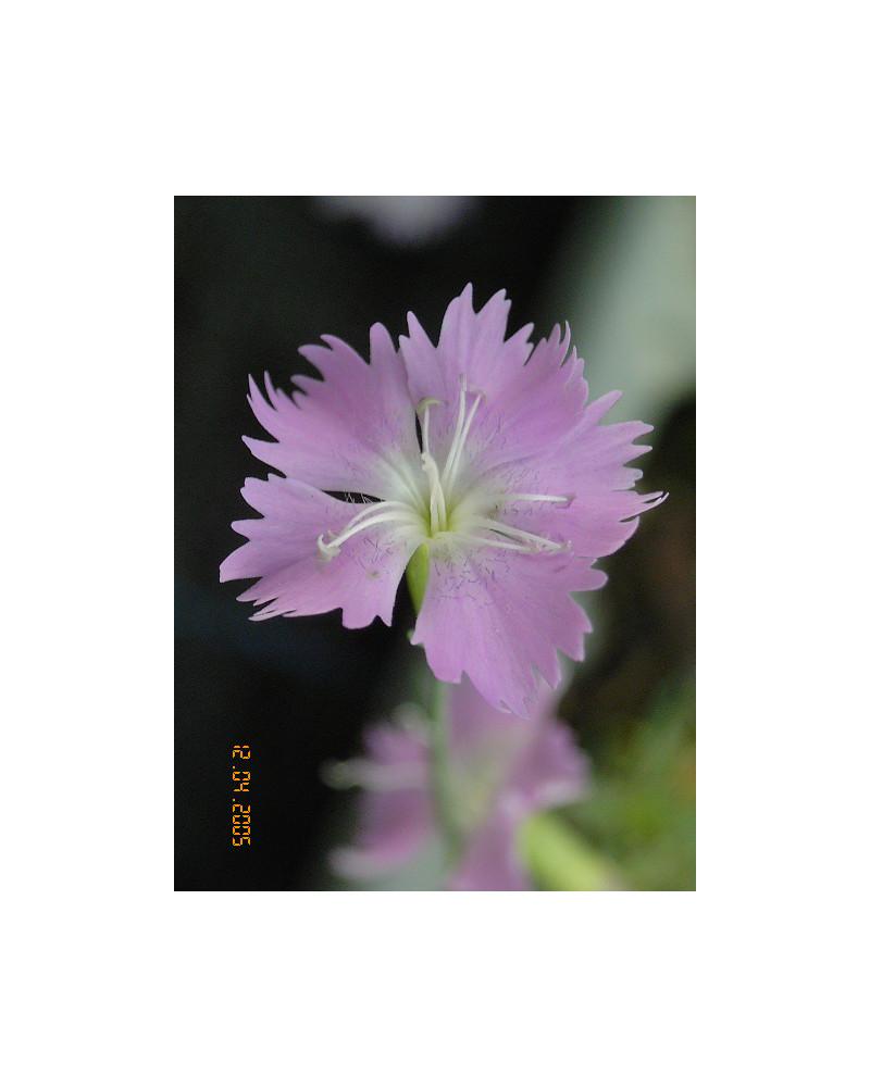 Dianthus montanus, Bergnelke