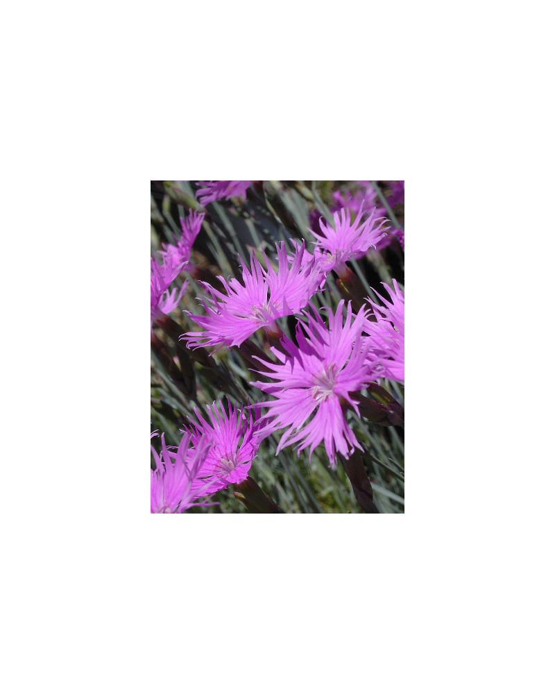 Dianthus sternbergii, Sternbergs Nelke