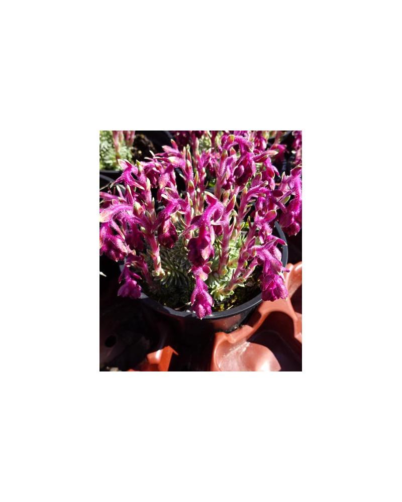 Saxifraga sempervivoides Stenophylla, Roter Steinbrech