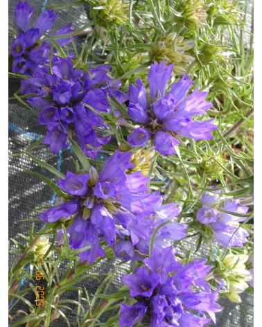 Edraianthus graminifolius, Büschelglockenblume