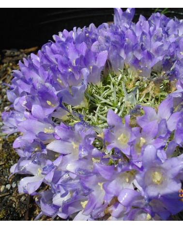 Edraianthus pumilio, Zwerg-Büschelglocke