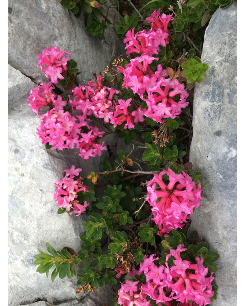 Rhododendron hirsutum, Bewimperte Alpenrose