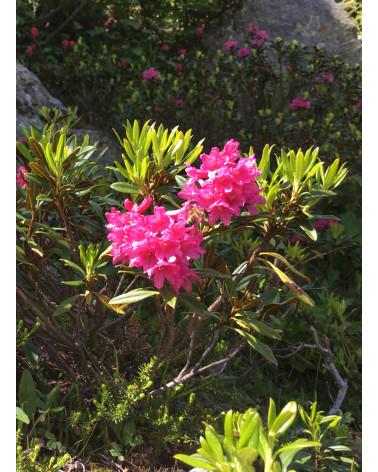 Rhododendron ferrugineum, Alpenrose